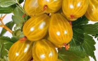 Желтый крыжовник медовый: характеристика, достоинства и недостатки сорта, агротехника выращивания