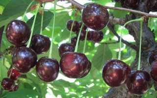 Вишня Антрацитовая — описание сорта, фото, отзывы садоводов