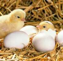 Выращиваем цыплят в инкубаторе