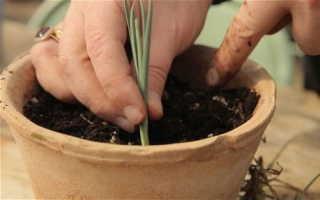 Как выращивать гвоздику перистую и ухаживать за ней