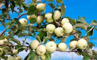 Яблоня Белый налив — описание сорта, фото, отзывы