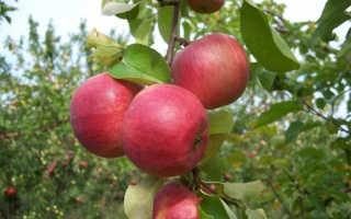 Вишня Жигулевская — описание сорта, фото, отзывы садоводов