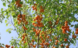 Подкормка абрикоса осенью: секреты садоводов