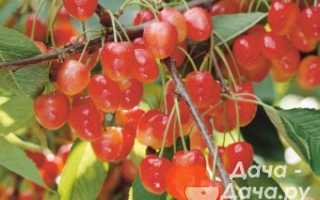 Черешня Поэзия — описание сорта, фото, отзывы садоводов
