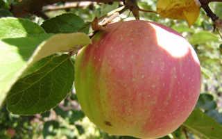 Яблоня Брусничное — описание сорта, фото, отзывы