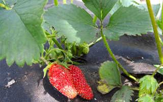 Клубника Дивная — описание сорта, фото и отзывы садоводов