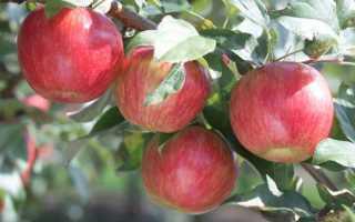 Посадка яблонь весной — расстояние между деревьями