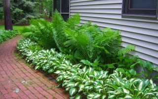 Виды и разновидности папоротника в саду (описание и фото)