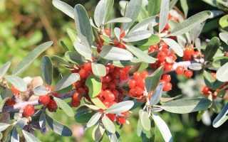 Облепиха Шефердия — описание сорта, фото и отзывы садоводов
