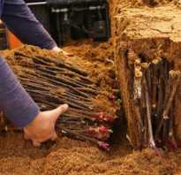 Заготовка и хранение черенков винограда осенью