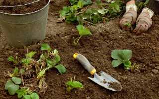 Как весной рассадить клубнику?