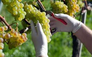 Виноград в Нижегородской области: посадка и уход