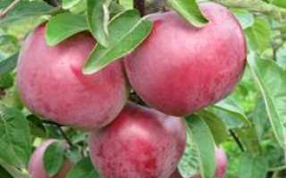 Сорта яблонь для Беларуси