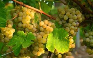 Виноград Алиготе: описание сорта, фото и отзывы садоводов