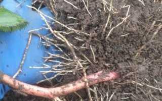 Как посадить ежевику осенью — пошаговое руководство