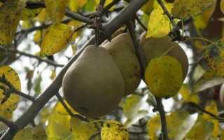 Подкормка груши осенью: советы садоводам