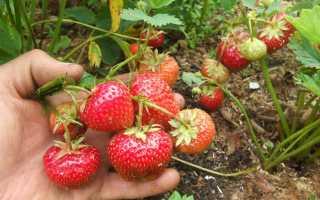 Земляника Вима Рина: выращивание, описание сорта, фото и отзывы
