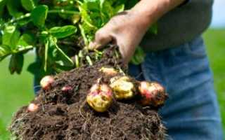 Полезные свойства, ботаническое описание и лечение цветками картофеля