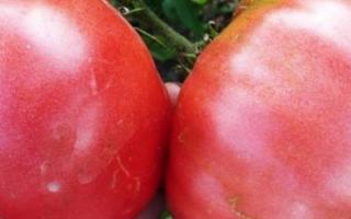 Реальные гиганты: помидоры сорта розовый гигант