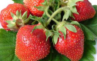 Клубника Царица — описание сорта, фото и отзывы садоводов