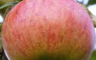 Яблоня Орлинка — описание сорта, фото, отзывы