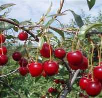 Вишня Шакировская — описание сорта, фото, отзывы садоводов
