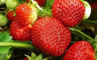 Клубника Витязь — описание сорта, фото и отзывы садоводов