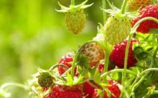 Земляника Али Баба: выращивание, описание сорта, фото и отзывы