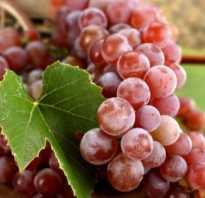 Лучшие зимостойкие сорта винограда с описанием и фото