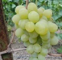 Виноград Антоний великий: описание сорта, фото и отзывы садоводов