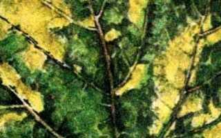 Лечение хлороза винограда