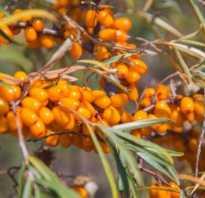 Облепиха Елизавета — описание сорта, фото и отзывы садоводов