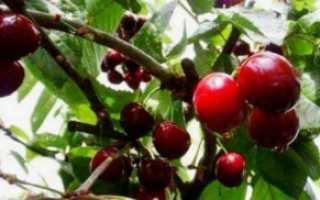 Черешня Садко — описание сорта, фото, отзывы садоводов