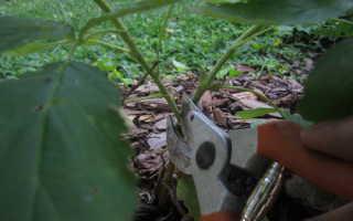 Малина древовидная: посадка и уход