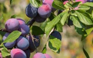 Слива Тульская Черная — описание сорта, фото, отзывы садоводов