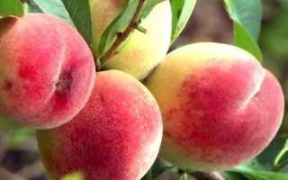 Персик Солнечный — описание сорта и отзывы садоводов