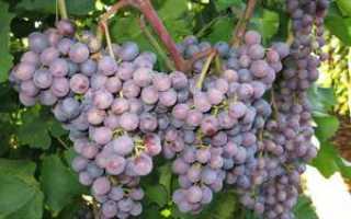 Виноград Муромец: описание сорта, фото и отзывы садоводов