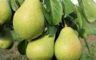 Груша Северянка — описание сорта, фото, отзывы садоводов