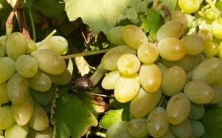 Виноград Тимур: описание сорта, фото и отзывы садоводов