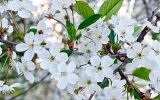 Обрезка вишни зимой: советы садоводам