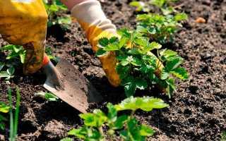 Как сажать клубнику весной — пошаговая инструкция