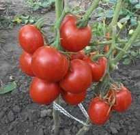 Томат Толстушка — описание сорта, отзывы, урожайность