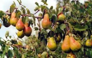 Груша Дикая — описание сорта, фото, отзывы садоводов