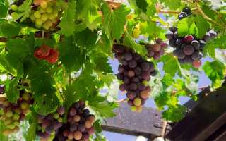 Чем весной подкормить виноград?