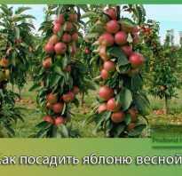 Как посадить яблоню весной: пошаговое руководство: секреты садоводов