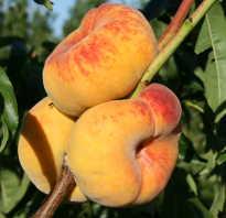 Осенний уход за персиком