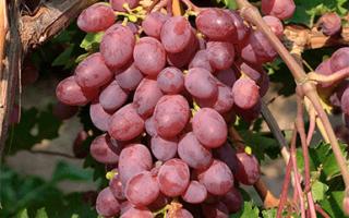 Виноград Виктория: описание сорта, фото и отзывы садоводов