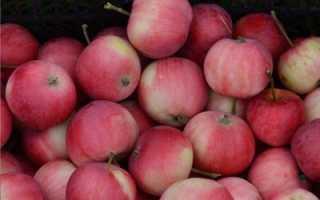 Яблоня Заветное — описание сорта, фото, отзывы