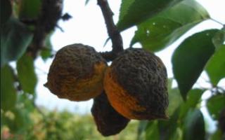 Почему абрикосы гниют на дереве?