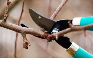 Когда лучше обрезать абрикос: весной или осенью: секреты садоводов